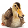 Duckling — Stock Photo #16845087