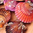 Live scallops - Stock Photo