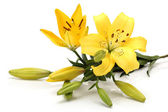 Yellow lilies isolated on white background — Stock Photo