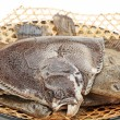 Stock Photo: Turbot fish on white background