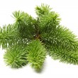 Pine branch — Stock Photo #26246439