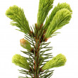 Pine branch — Stock Photo #26246911