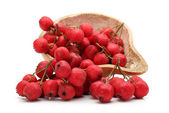 Branch of ashberry — Stock Photo