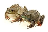 Bullfrog, Rana catesbeiana, against white background — Stock Photo