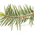 Foto Stock: Pine branch on white background