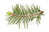 Pine branch on white background — Stock Photo