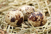 Quail eggs in a nest of hay close-up — Stock Photo