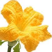 Zucchine fiori freschi su sfondo bianco isolato — Foto Stock