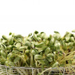 Black bean sprouts on white background — Stock Photo