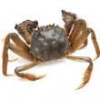 Crab on white background — 图库照片