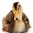 Duckling on white background — Stock Photo