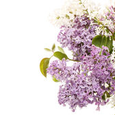Lilac isolated on white background — Stock Photo