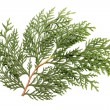 Foto Stock: Leaves of pine tree or Oriental Arborvitae