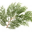 图库照片: Leaves of pine tree or Oriental Arborvitae