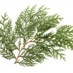 Leaves of pine tree or Oriental Arborvitae — Stock Photo