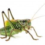 Macro image of a grasshopper isolated on white background — Stock Photo #29483953