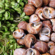 Live clams — Stock Photo