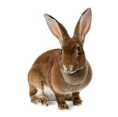 棕色的小兔子 — 图库照片