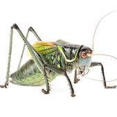 Macro image of a grasshopper — Stock Photo
