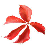 秋のメープル リーフ — ストック写真