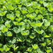 Wild clover — Stock Photo