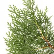 Juniper close up, isolated — Stock Photo
