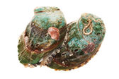 Raw abalones — Stock Photo