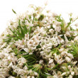 Stock Photo: Chinese chive flower