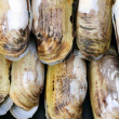 Stock Photo: Razor clams