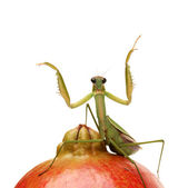Green mantis on the pomegranate — Stock Photo