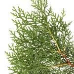 Leaves of pine tree or Oriental Arborvitae — Stock Photo #32929527