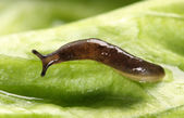 Slug hanging — Stock Photo