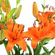 Lily flower — Stock Photo