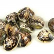 Clams — Stock Photo #35581183