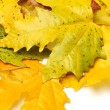 Yellow autumn leaf background — Stock Photo