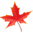 Autumn maple leaf isolated on white background — Stock Photo
