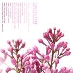 Постер, плакат: Lilac