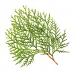 Leaves of Oriental Arborvitae — Stock Photo #42641509