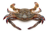 Blue crab — Foto Stock