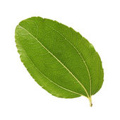 Jujube leaf — Stock Photo