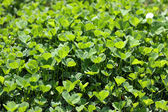 Wild clover — Stock Photo