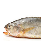 Croaker Fish — Stock Photo