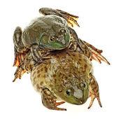 牛蛙 — 图库照片
