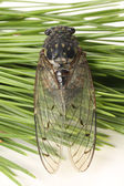 Small cicada — Stock Photo