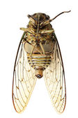 Cicada insect — Stock Photo