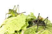 在白菜上的蚂蚱 — 图库照片