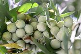 Ginkgo fruits — Stock Photo