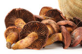 Pine tree mushrooms — Stock Photo