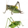 Green grasshoppers — Stock Photo #49156529