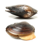 Swan mussels — Stock Photo